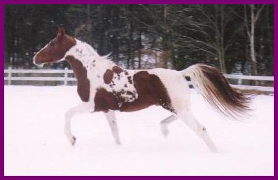 Homozygous Pinto National Show Horse Stallion